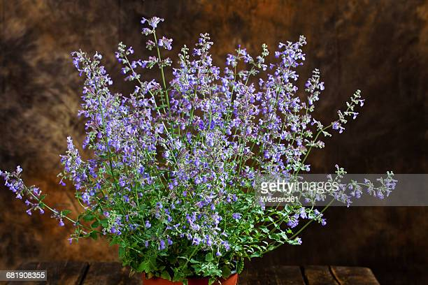 catmint, nepeta cataria, in pot - catmint stock pictures, royalty-free photos & images