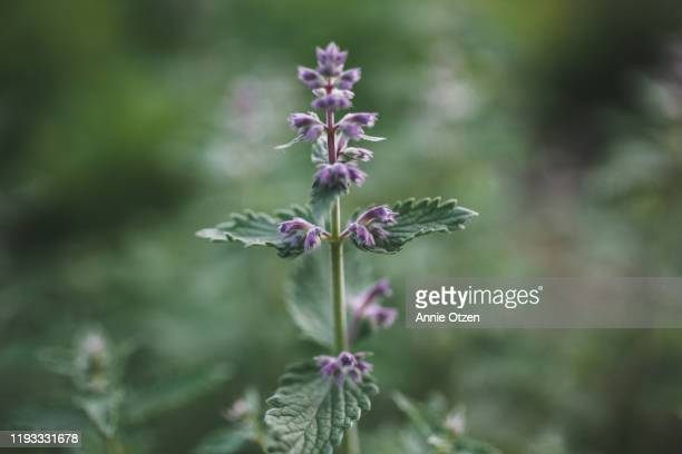catmint - catmint stock pictures, royalty-free photos & images