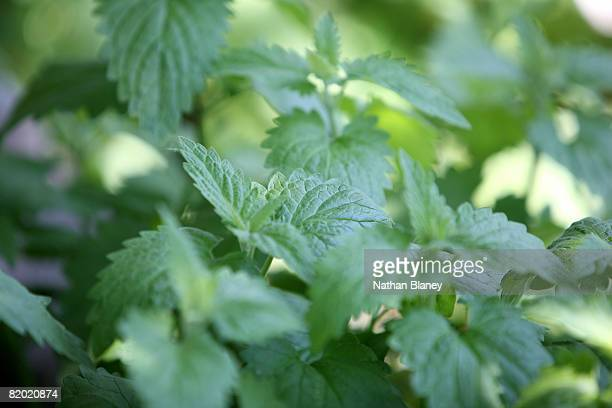 catnip; also known as catmint. - catmint stock pictures, royalty-free photos & images
