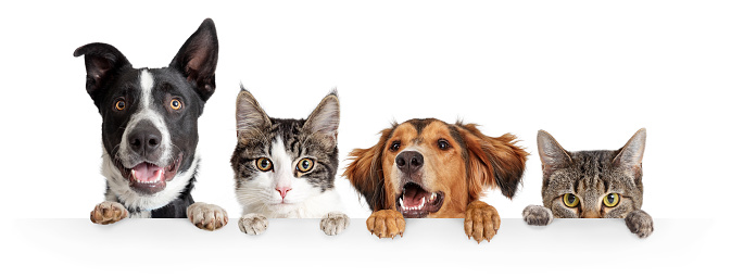 Cats and Dogs Peeking Over White Web Banner 1152482732