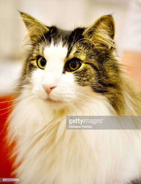 Cats are judged at Merseyside Cat Club Championship show at Sutton Leisure Centre on June 3 2017 in St Helens England