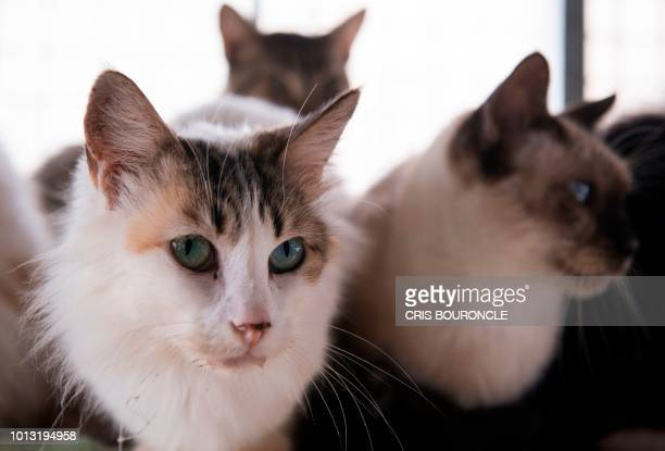 Cats are pictured in Casita Gatuna cat shelter at nurse Maria Toreros home in Lima Peru on August 7 2018 For the last eight years Torero has been...