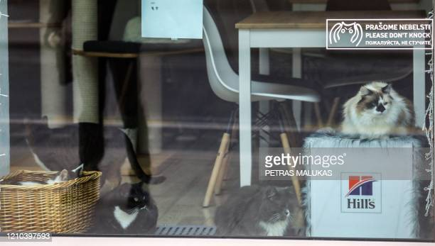 """Cats are pictured through the window of the """"Cat Cafe"""" which remains closed in Vilnius, Lithuania on April 19 amid the new coronavirus COVID-19..."""