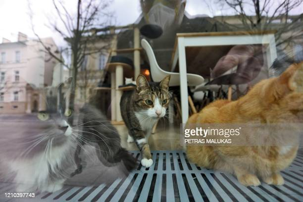 """Cats are seen as they rest behind the window of the """"Cat Cafe"""" which remains closed in Vilnius, Lithuania on April 19 amid the new coronavirus..."""