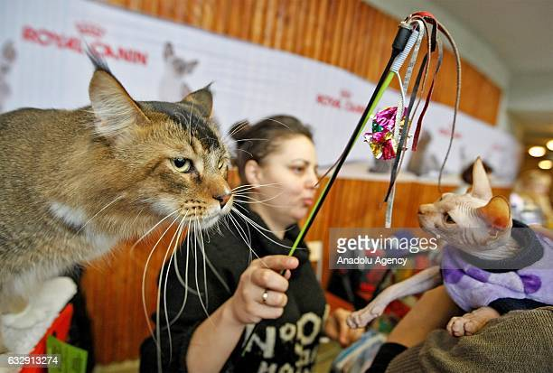 Cats are seen during the International Cat Show in Kiev, Ukraine, on January 28, 2017.The show presents more than 20 breeds of cats,including Kuril...