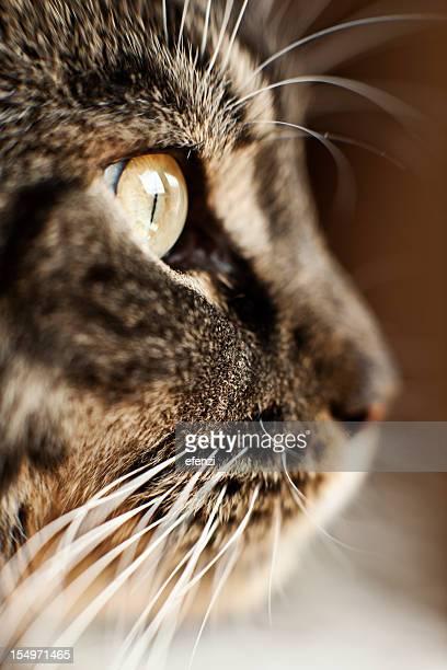 oeil de chat - macro animal photos et images de collection