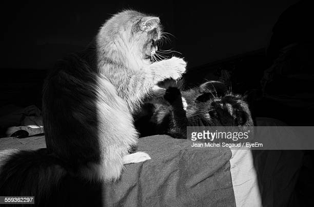 Cats Fighting On Bed At Home