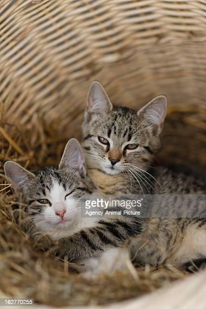 Cats in a basket on a farm on July 30, 2012 in Neukirchen vorm Wald, Germany.