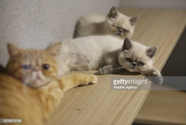 Cats lie on a shelf at a Cat Pet Hotel in Bursa Turkey on August 21 2018 Hotel has total of 32 separate standard luxury and suit rooms for each cat...
