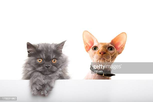 cats - sphynx hairless cat stock photos and pictures