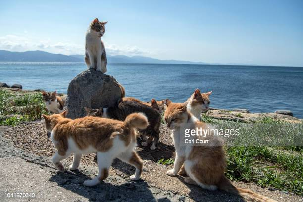 Cats relax in the sun on September 27 2018 in Aoshima Japan Aoshima island has come to be known for its large number of felines which now outnumber...
