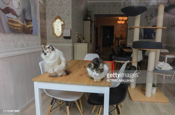 """Cats sit on a table of the """"Cat Cafe"""" which remains closed in Vilnius, Lithuania on April 19 amid the new coronavirus COVID-19 pandemic. - In..."""
