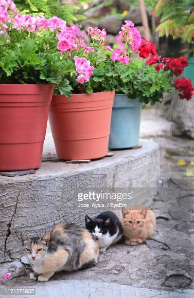 cats sitting on footpath by flowering plants in pots - jose ayala fotografías e imágenes de stock