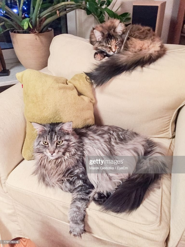 Cats Sitting On Sofa At Home : Photo