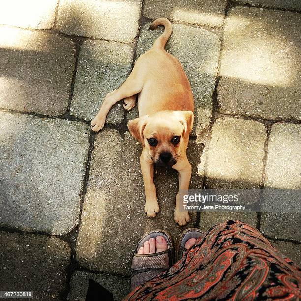 cats vs. dogs - puggle stock pictures, royalty-free photos & images