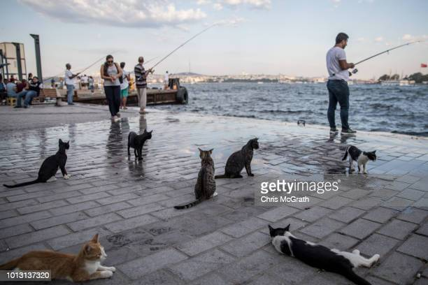 Cats wait for fishermen to feed them their catch on August 7 2018 in Istanbul Turkey Istanbul is known as the City of Cats and sometimes referred to...