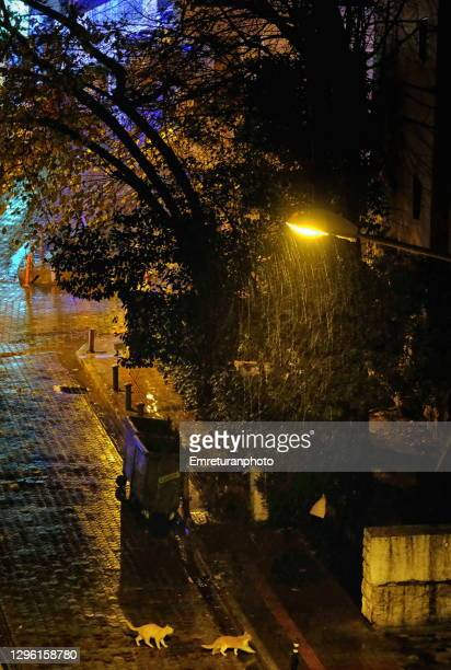 cats walking in the street under rain at night. - emreturanphoto stock pictures, royalty-free photos & images