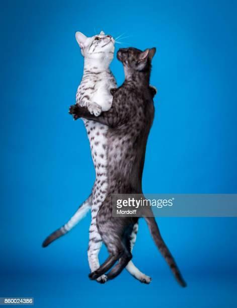 Katze-Walzer