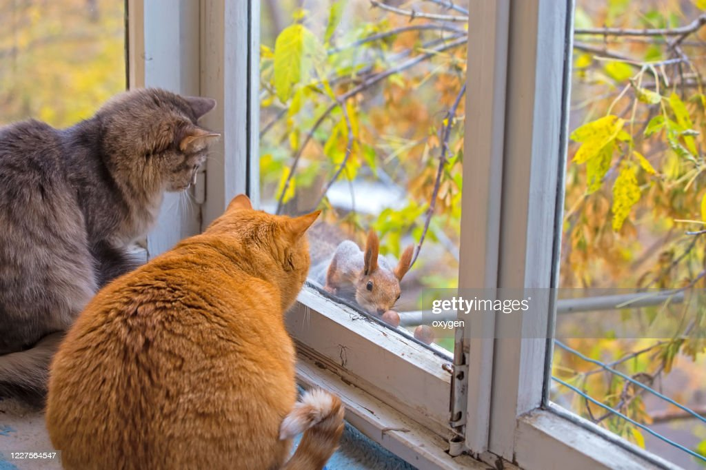 Cats Watch a Squirrel. Two Funny Fat Cats Looks Squirrel through the Window : Stock Photo