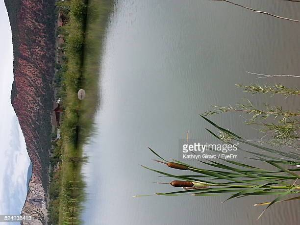 Cattail Growing By Lake Against Mountains