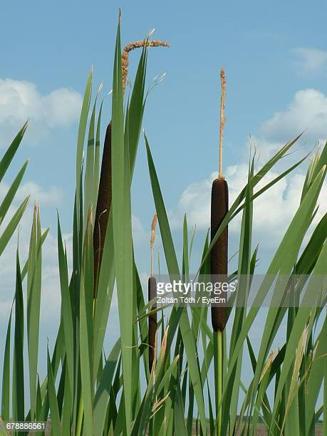 Cattail Growing On Field Against Sky