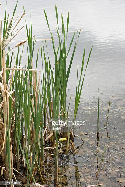 cattail reeds and water