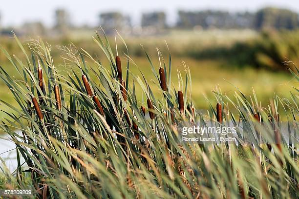 Cattails Growing On Field