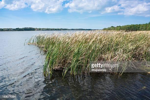 tarpon cattails, lago - palm harbor fotografías e imágenes de stock