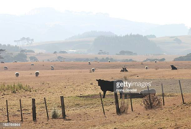 Cattle and sheep graze in rural Muriwai on Auckland's west coast on March 12 2013 in Auckland New Zealand Drought was declared in several areas of...