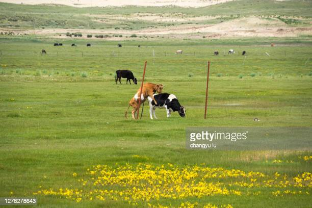 cattle and sheep graze on the grassland - ハイビジョンテレビ ストックフォトと画像