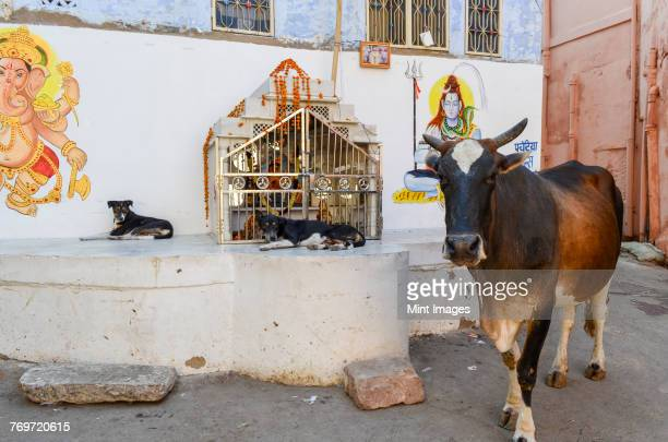 Cattle and two dogs next to a Hindu shrine in the street in the city of Jodhpur.