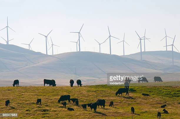 Cattle and Wind Power in California