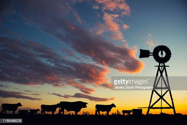 cattle and windmill at sunset - casper wyoming stock pictures, royalty-free photos & images