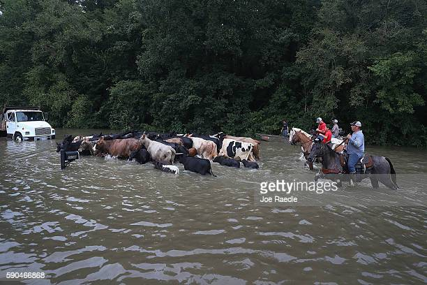 Cattle are driven through a flooded road as they are herded to trucks to be brought to dry land on August 16 2016 in Sorrento Louisiana Starting last...
