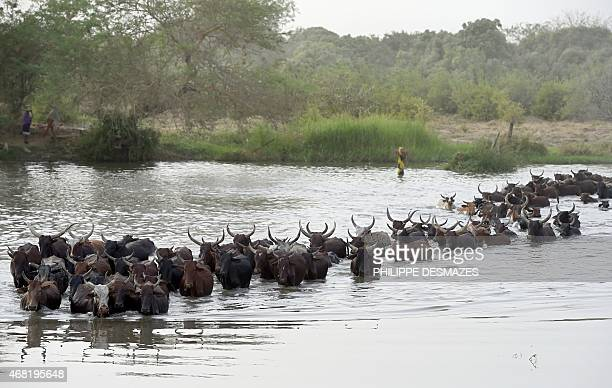Cattle are herded across a section of Lake Chad whose waters border Nigeria Nigeria and Cameroon on March 30 2015 near the village of Guite in Chad's...