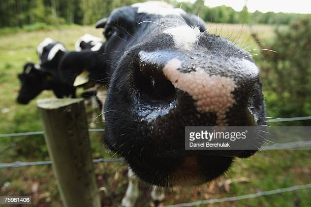 Cattle are pictured on a farm within a surveillance zone set up by the Department for the Environment Food and Rural Affairs on August 6 2007 in...