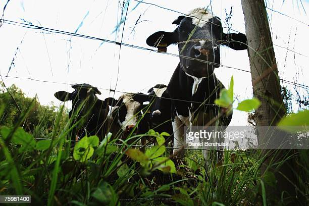 Cattle are pictured on a farm within surveillance zone set up by the Department for the Environment Food and Rural Affairs on August 6 2007 in...