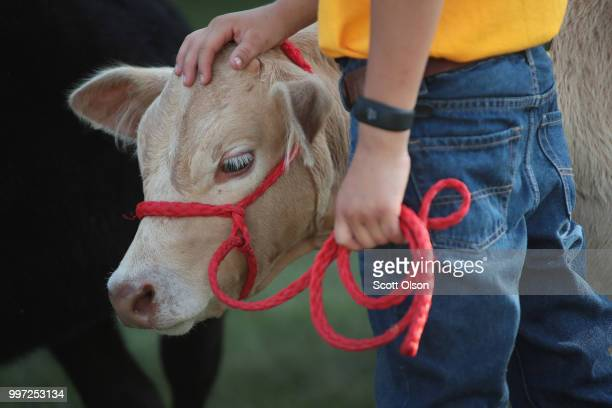 Cattle are prepared for showing at the Iowa County Fair on July 12, 2018 in Marengo, Iowa. The fair, like many in counties throughout the Midwest,...