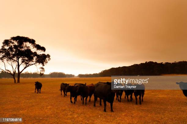 Cattle are seen under smoke filled skies in eastern Gippsland on January 02 Australia The HMAS Choules docked outside of Mallacoota this morning to...