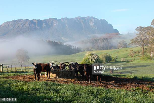 Cattle at a hay feeder with early morning mist lingering Mount Roland beyond near Sheffield northwest Tasmania Australia
