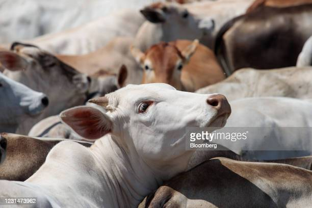 Cattle at a ranch in Paulinia, Sao Paulo state, Brazil, on Tuesday, March 2, 2021. Although Brazil's beef supply chain is one of the most complex in...