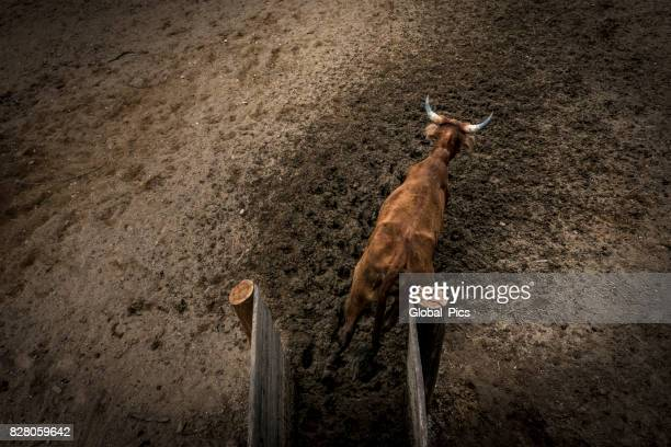 Cattle at a rodeo