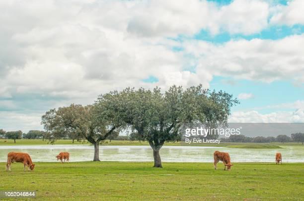 cattle at pasture - extremadura fotografías e imágenes de stock