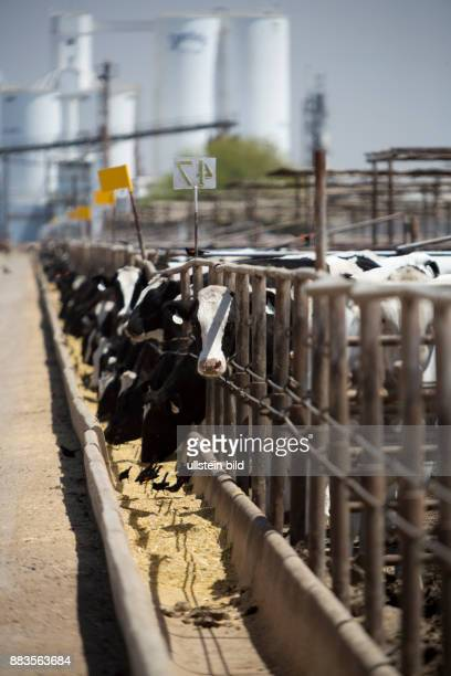 Cattle at the Hacienda Feedyard in Brawley in Imperial County in the background the Spreckels Sugar Refinery