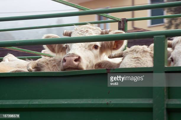 Cattle being driven to market