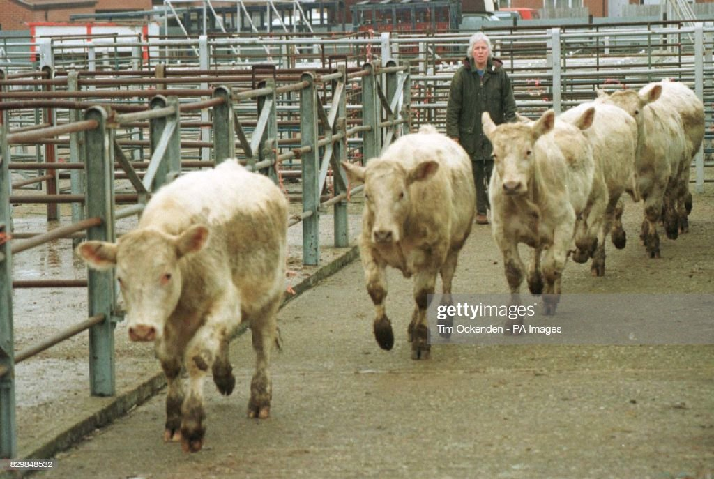 Cattle being taken for auction at Thame cattle market amid