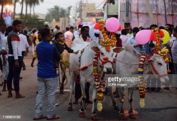 Cattle being taken towards the festive area. Kichchu haisodu is a festival after the harvest season where bulls are jumped over the fire on makar...