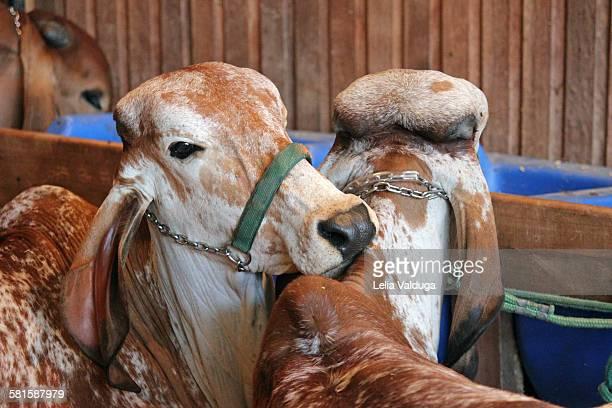Cattle Braford