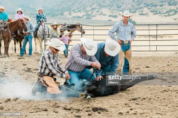 cattle branding cowboys branding bull livestock branding - livestock branding stock photos and pictures