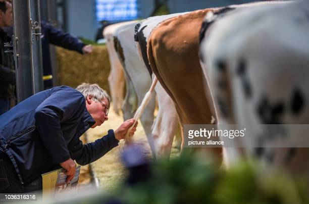 A cattle breeder looks at one of 39 valuable young cows before the traditional auction fo the cattle breeding association RinderAllianz in Karow...